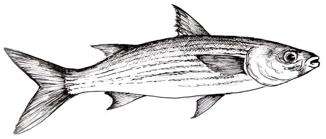 Cefalo SEAstainable SEAfood Guide Worldrise Spezie