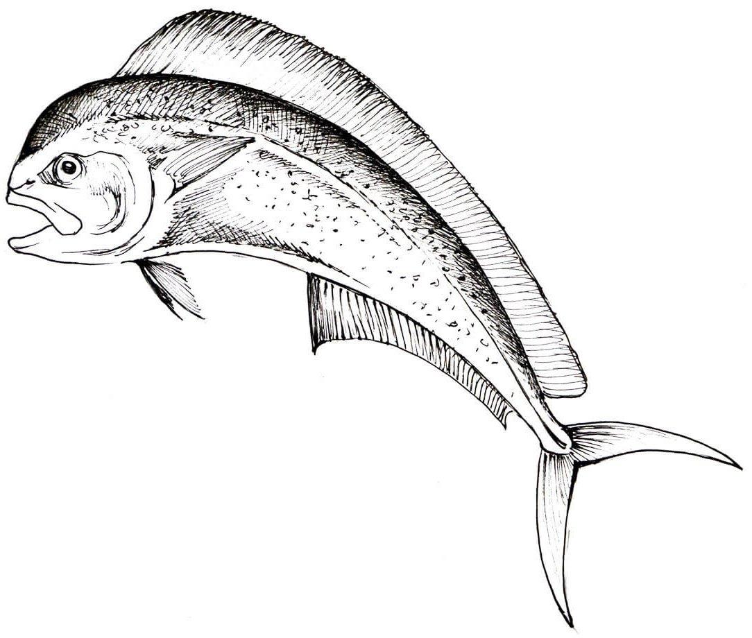 Lampuga SEAstainable SEAfood Guide Worldrise Spezie
