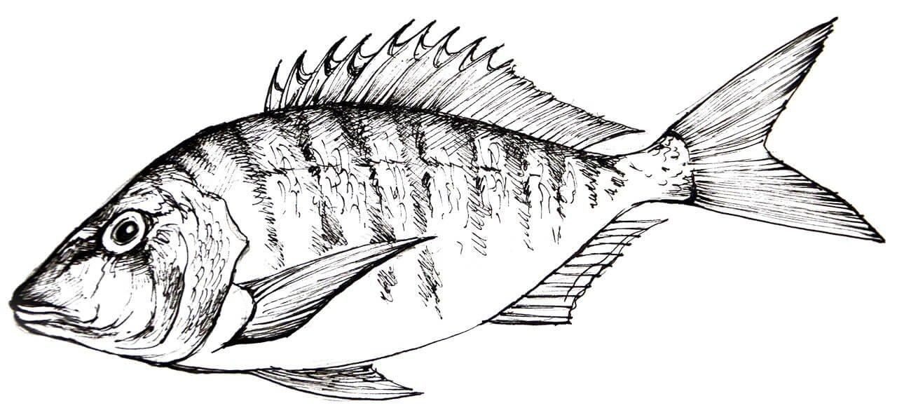 Mormora SEAstainable SEAfood Guide Worldrise Spezie