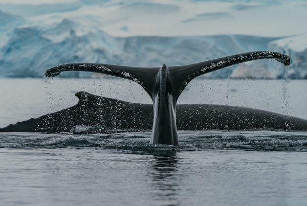 Balene ai poli 1