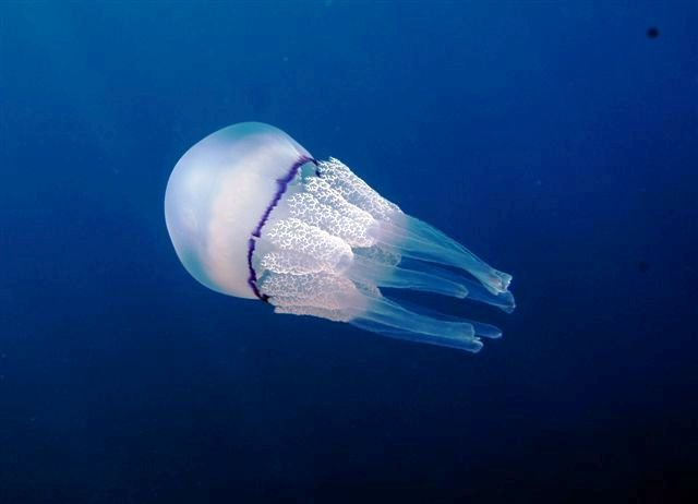 Rhizostoma Pulmo Via Wikipedia