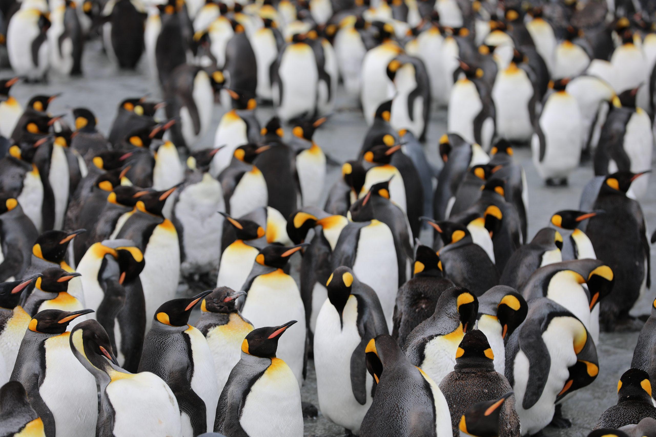 10 curiosità sul pinguino: un animale marino nell'ombra