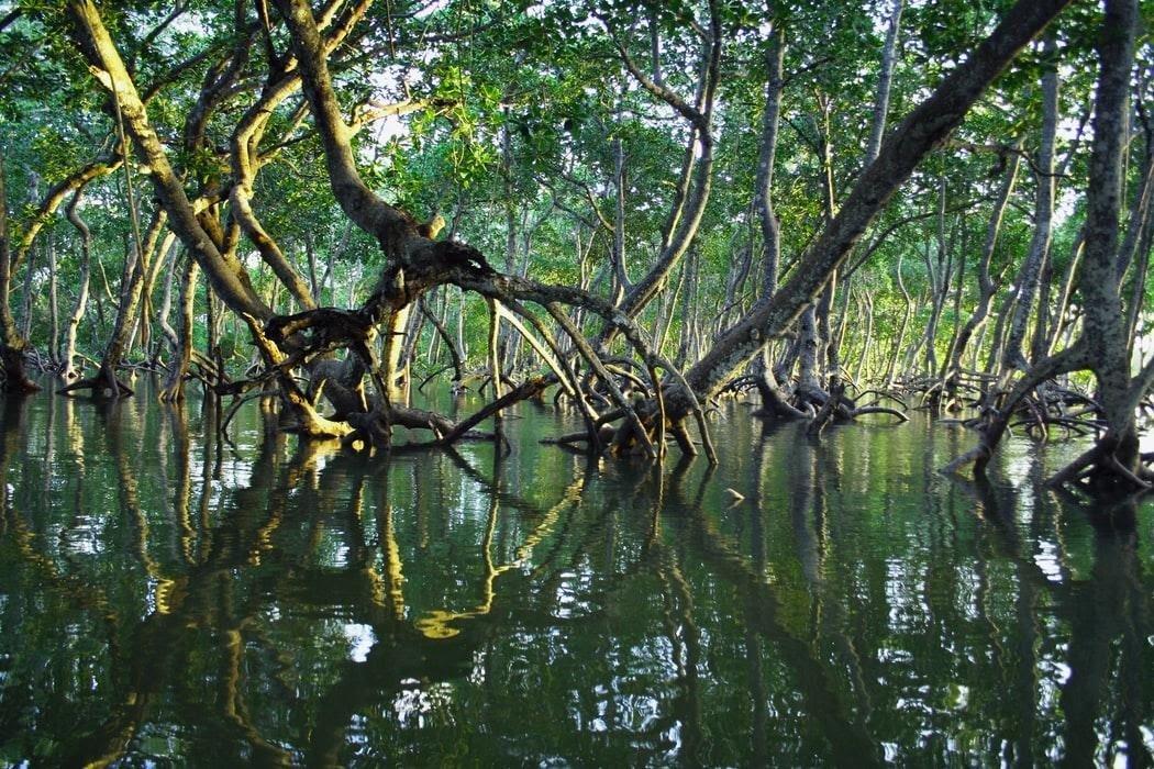 Le mangrovie: un'intricata foresta di benefici
